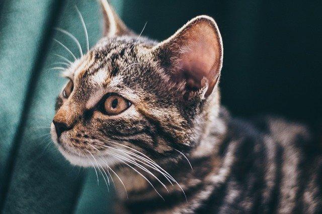 Ohrenpflege bei der Katze