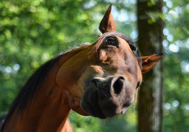 Körpersprache bei Pferden